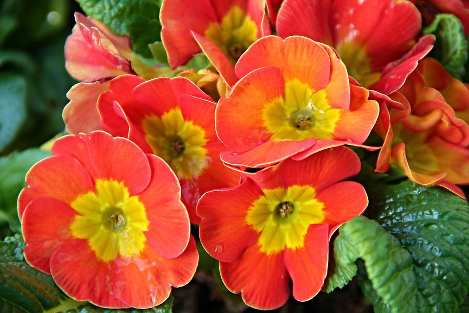 Primroses, Primula, Spring, Flowers, Yellow, Red