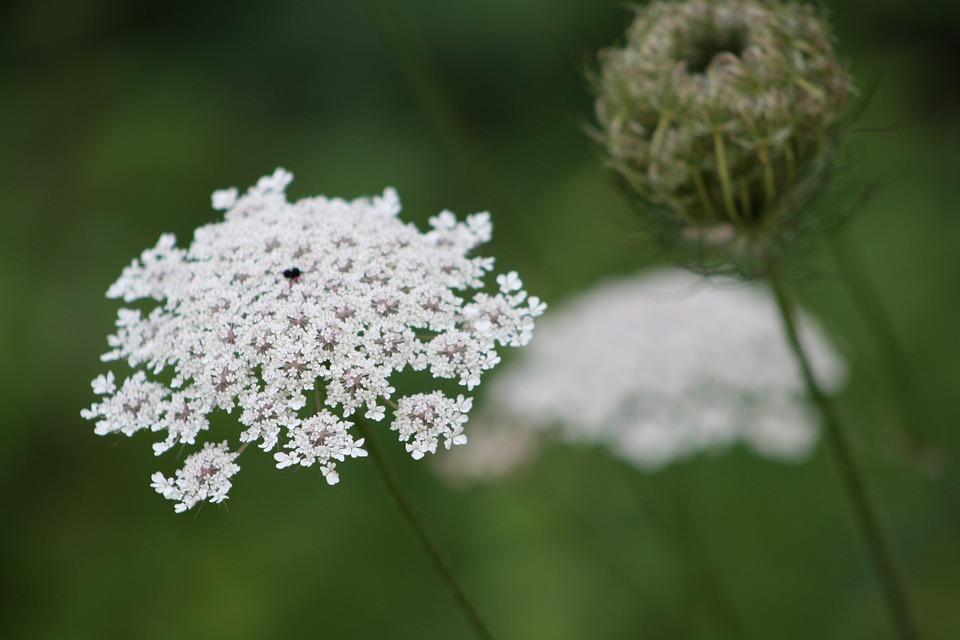 Queen Ann's Lace, White, Close Up, Print, Lace, Flora
