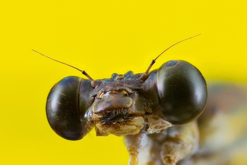Bubble Head, Dragonfly, Compound Eyes, Eyes, Probe