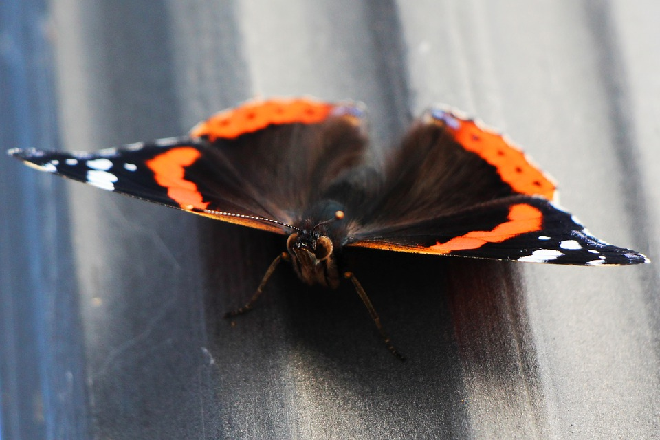 Butterfly, Macro, Probe, Insect, Animal, Edelfalter