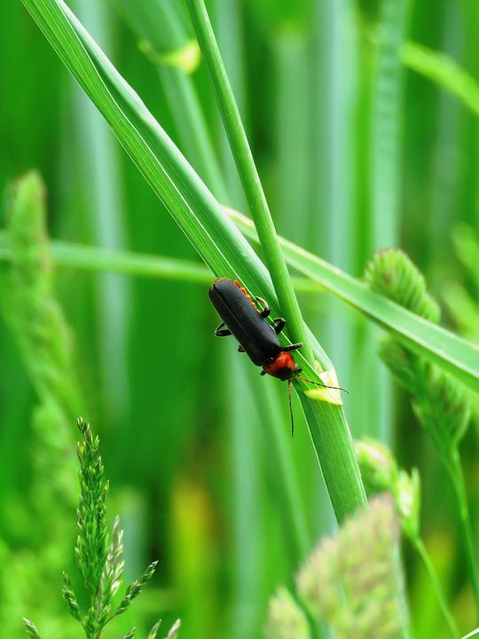 Soldier Beetle, Beetle, Insect, Probe, Meadow, Red