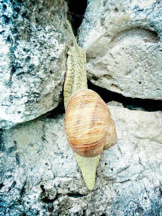 Helix Pomatia, Snail, Copse Snail, Mollusk, Probe