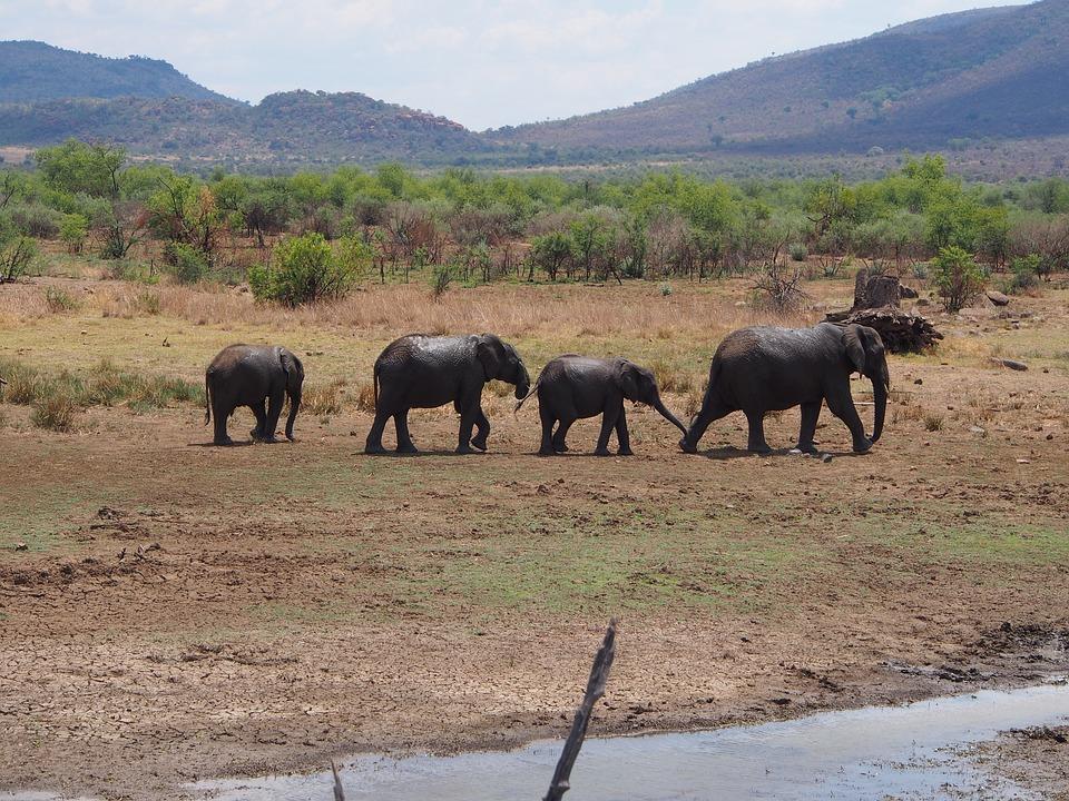 Elephant, Flock, Baby Elephant, Proboscidea, Safari
