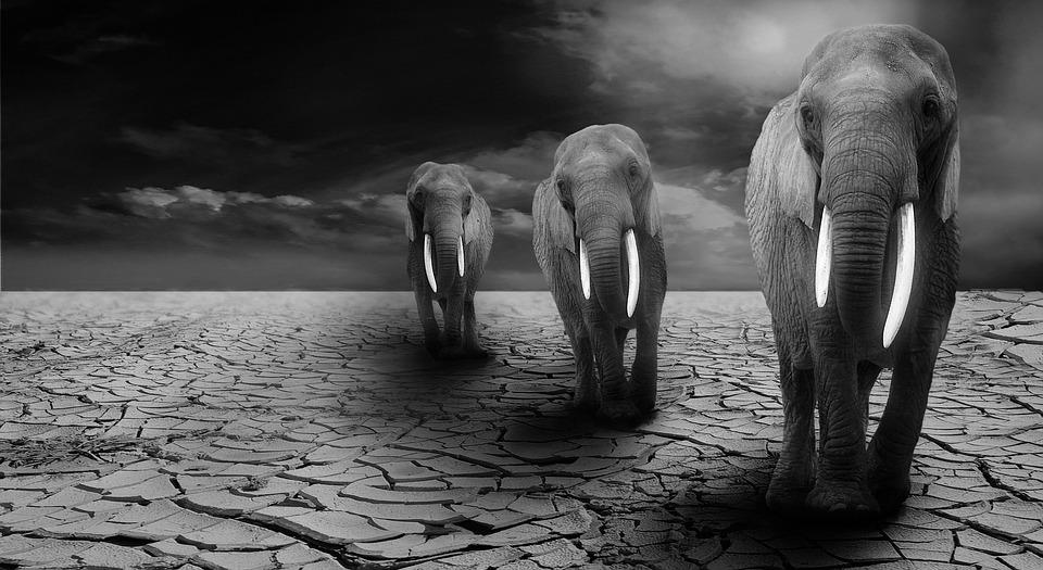 Elephant, Animals, Africa, Safari, Proboscis
