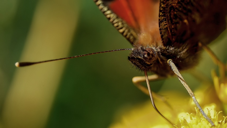 Insect, Proboscis, Butterfly, Suck