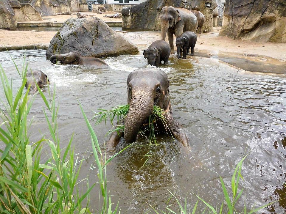 Elephant, Zoo, Animals, Pachyderm, Proboscis, Tusks
