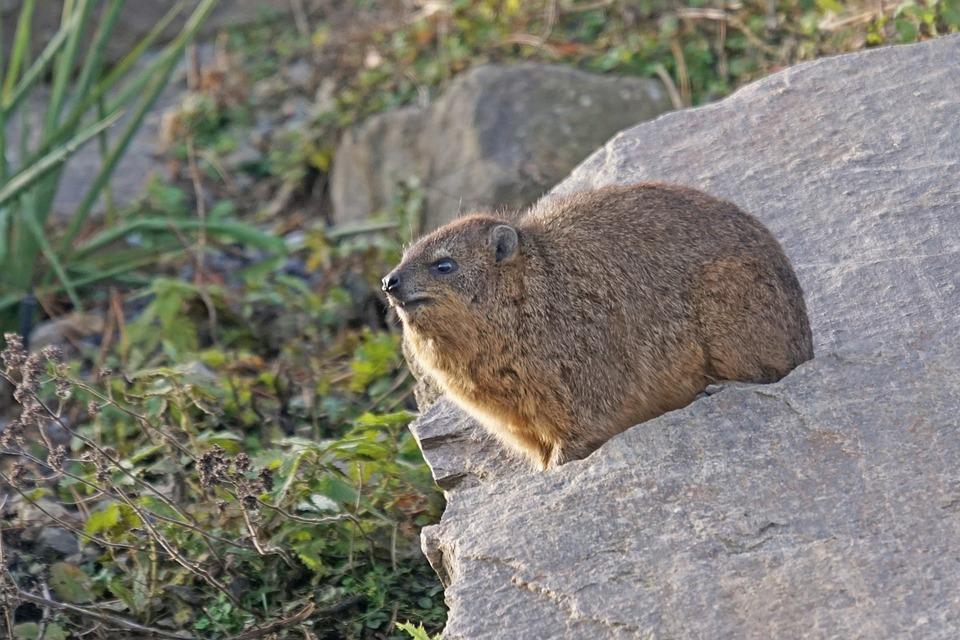 Animals, Hyraxes, Hyrax, Clip Badger, Procavia Capensis