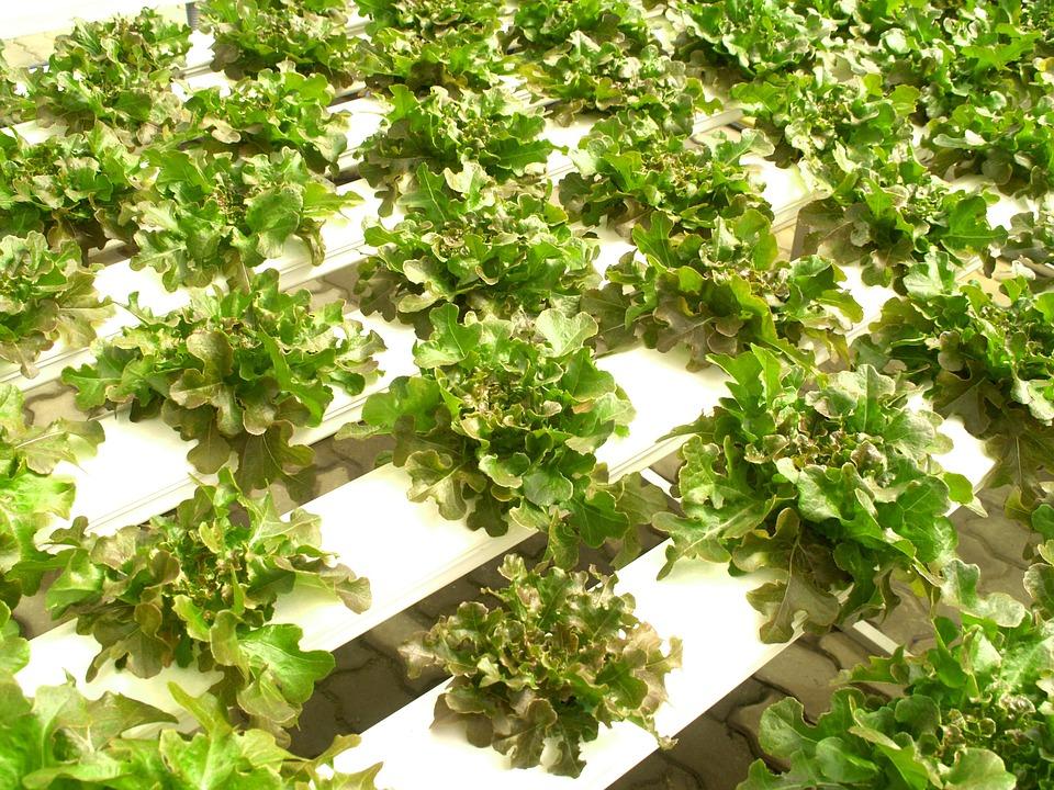 Farm, Market, Hydroponic, Produce, Lettuce, Grow