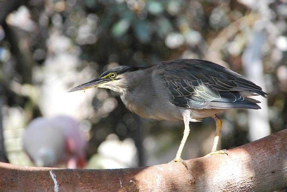 Heron, Bird, Animal, Nature, Profile, Cute