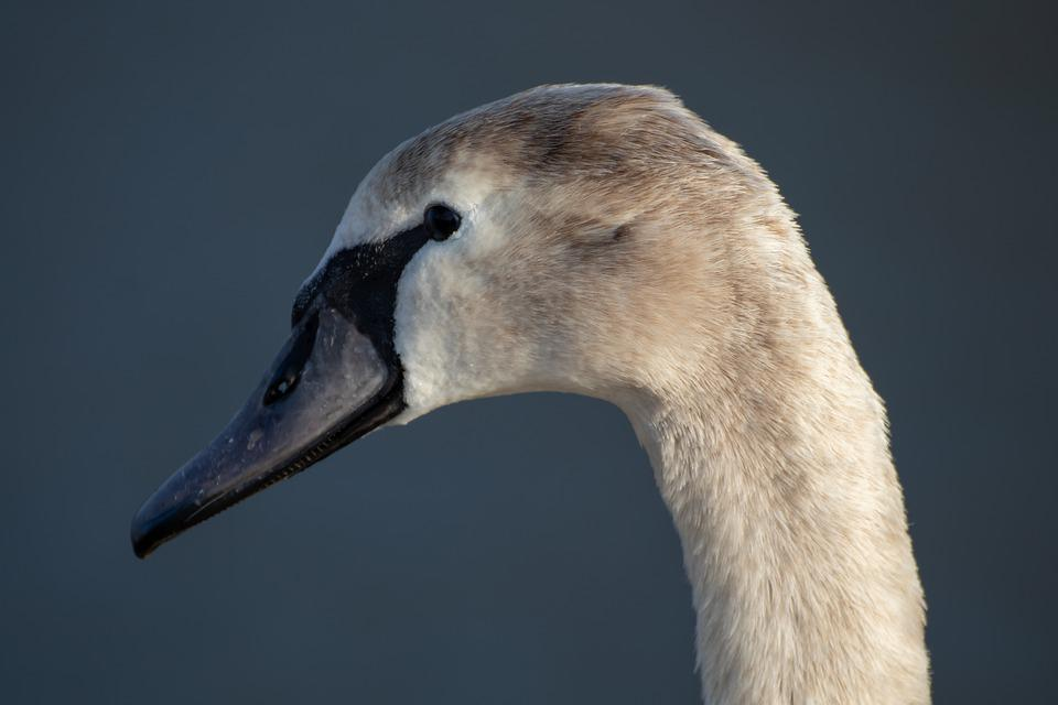 Swan, Young Swan, Head, Bill, Face, Profile, Feather