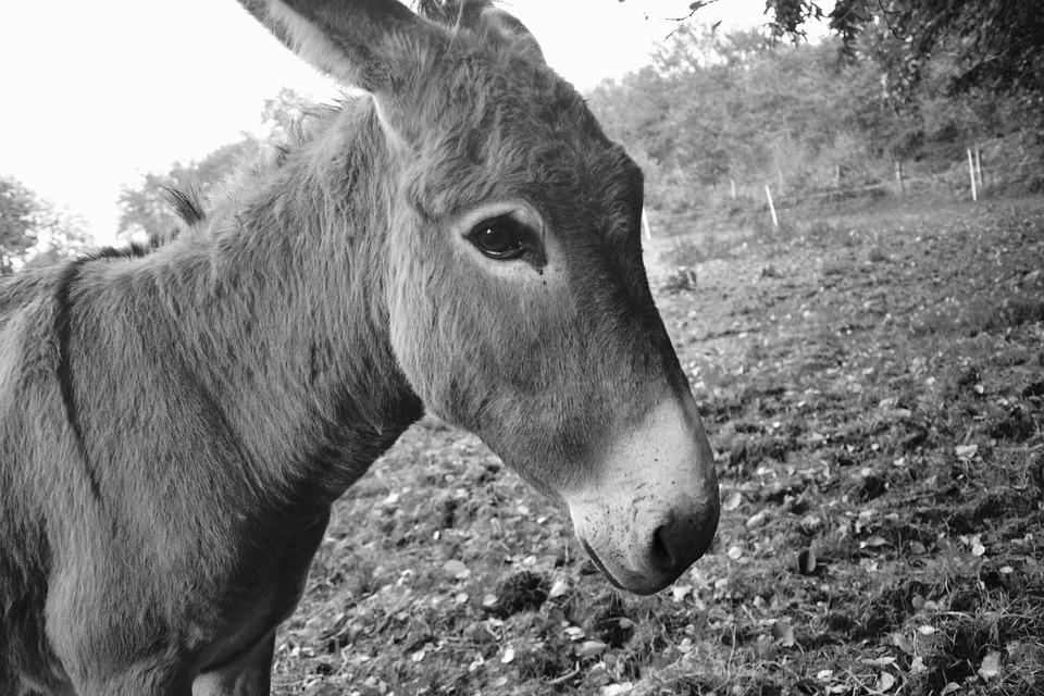 Donkey, Portrait, Profile, Photo Black White, Look, Eye