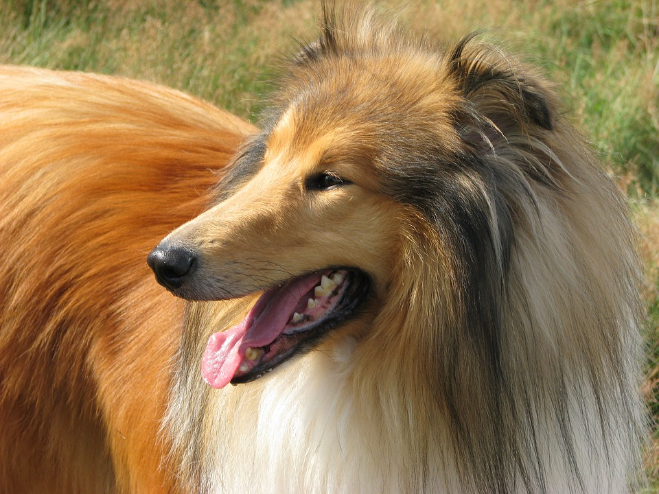 Rough Collie, Dog, Collie, Profile, Close-up, Canine