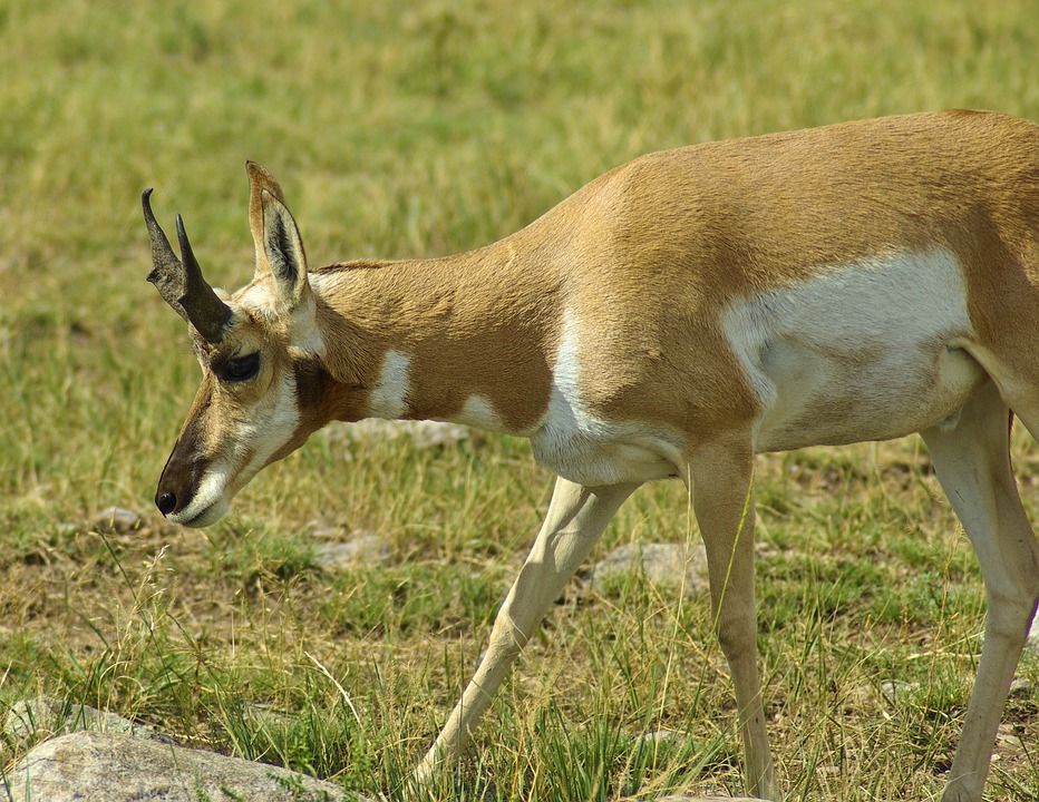 Antelope In South Dakota, Antelope, Pronghorn, Custer