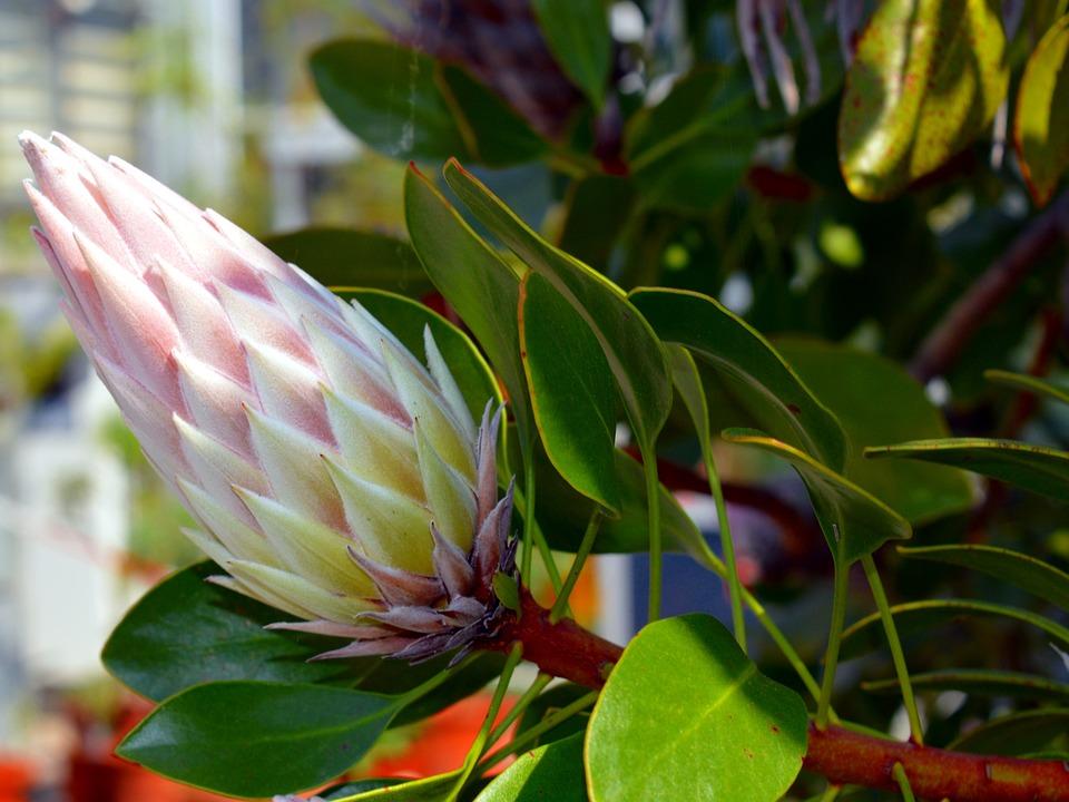 Protea, King Protea, Protea Cynaroides, Sugar Bushes