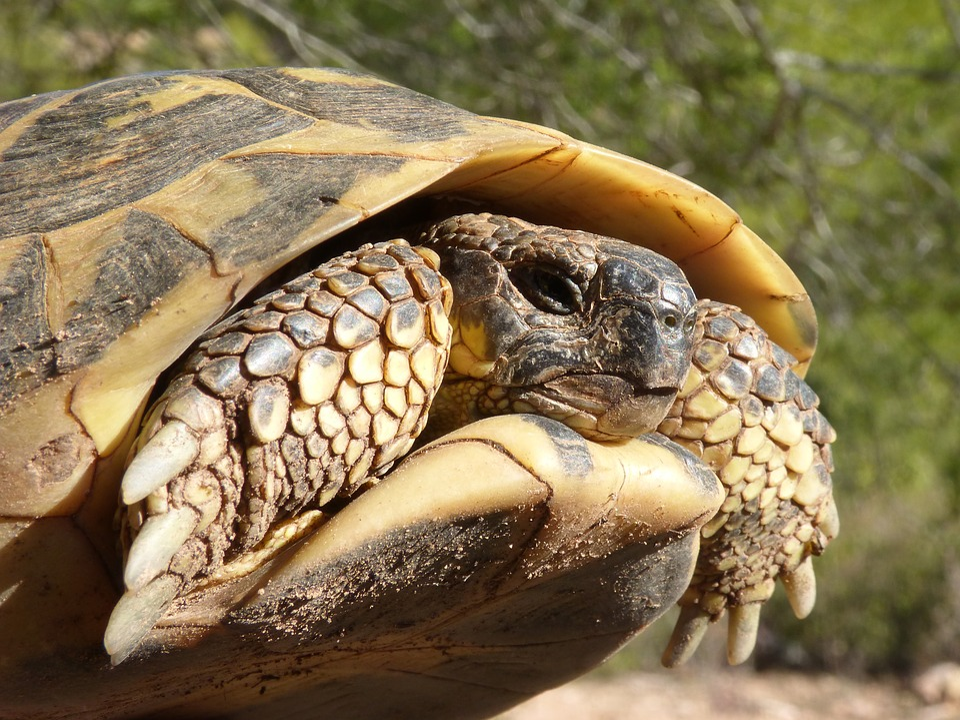 Mediterranean Tortoise, Turtle, Protected Species