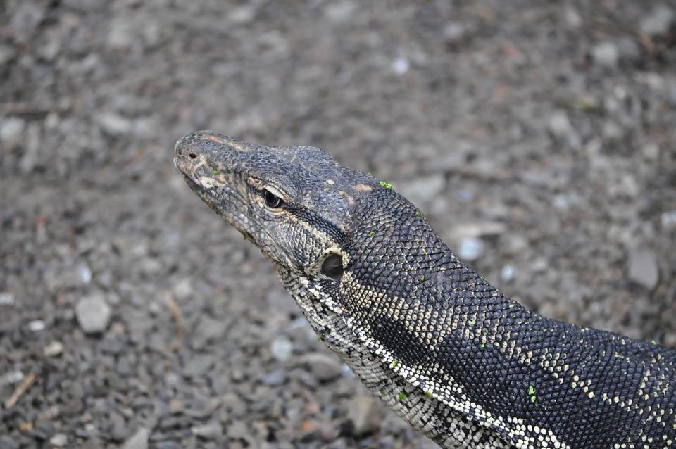 Big Lizard, Reptile, Lizard, Protective Coloration, Pet