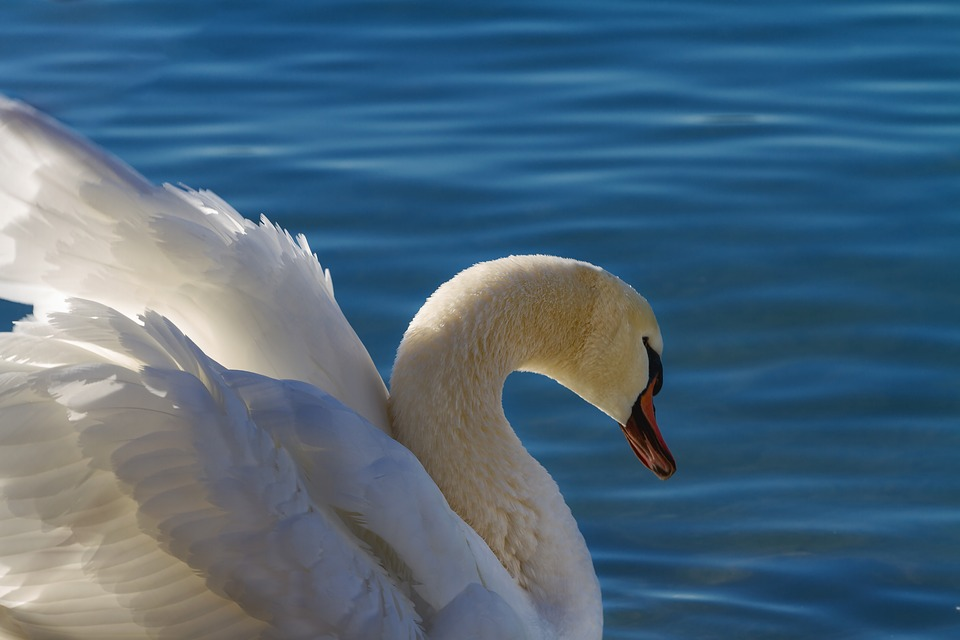 Swan, Proud To Be A Swan, Lake, Waters, Bird, Nature