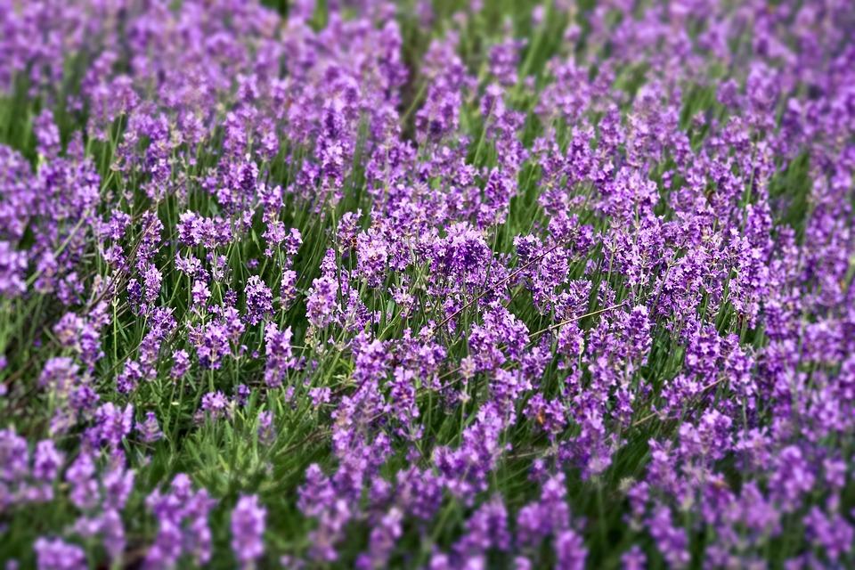 Lavender, Field, Nature, Plant, Garden, Provence