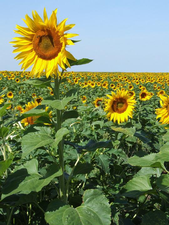 Sunflowers, France, Field, Yellow, Summer, Provence
