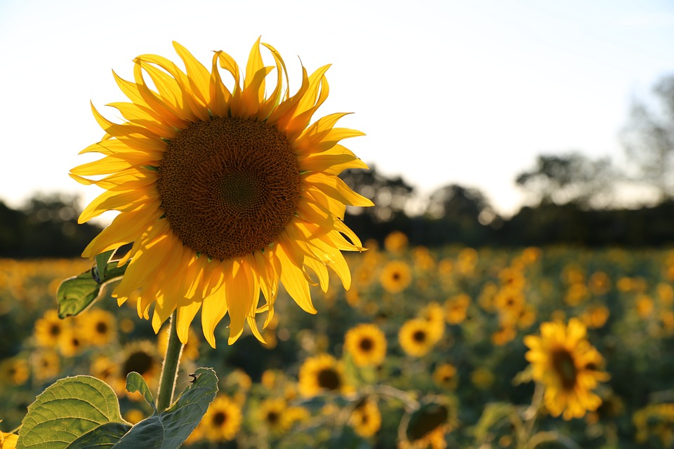 Sunflower, Light, Provence