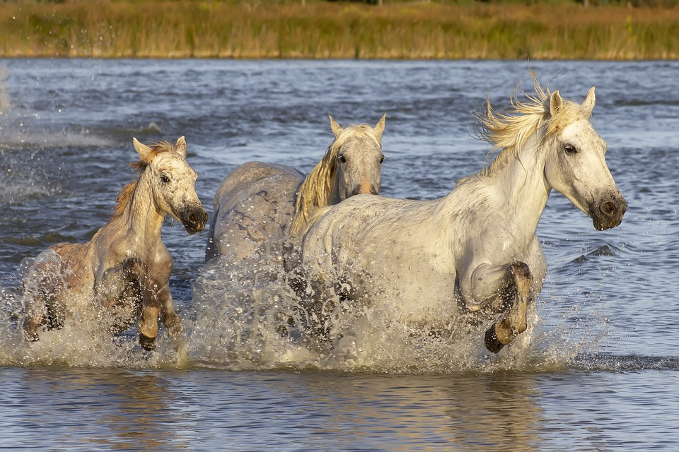 Camargue, Horses, Provence, Animals, Pond, Water, Foal