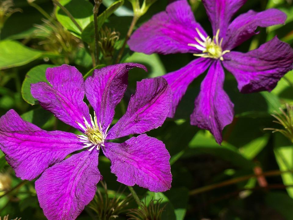 Prune, Clematis, Jackmanii, Purple, Flower, Garden
