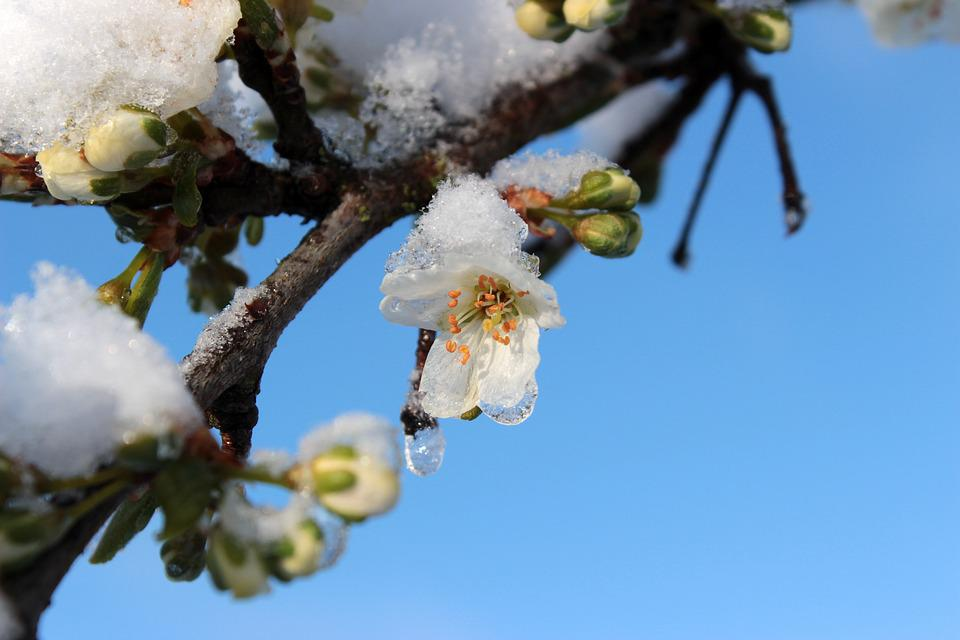 Plum Tree, Prunus Domestica, Plum Blossom, Plum Buds