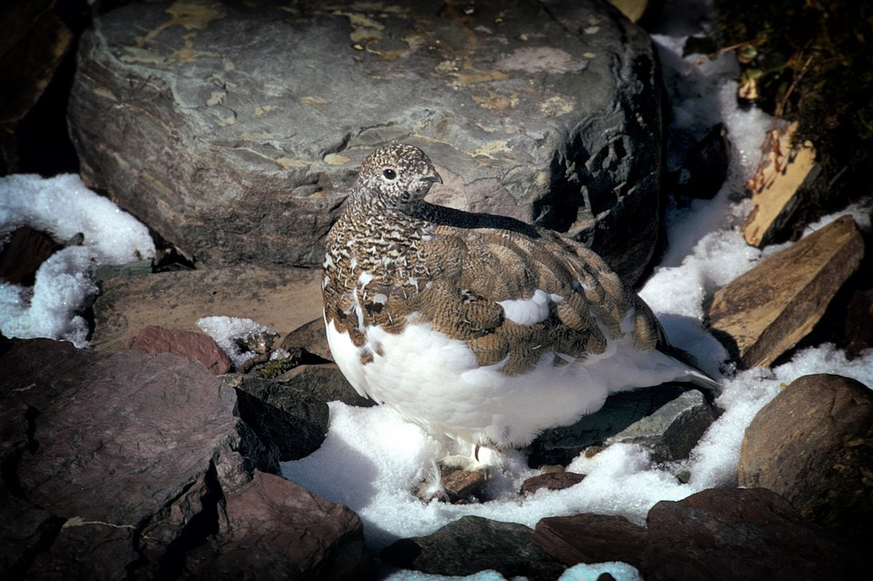 Ptarmigan, Bird, Montana, Rocks, Wildlife, Snow