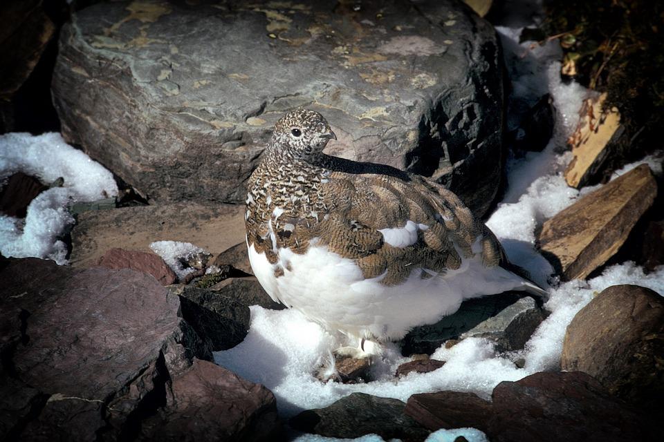 Ptarmigan, Bird, Montana, Rocks, Wildlife, Snow