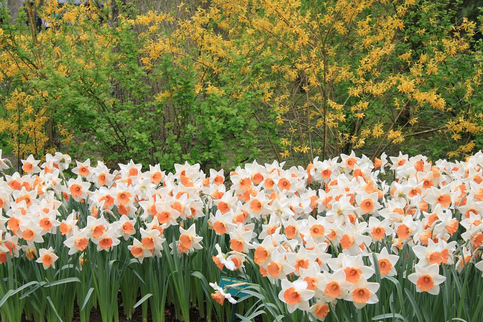 Narcissus, Flowers, Public Garden, Delicacy, Plants