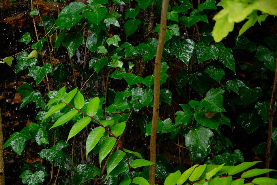 Ivy, Rain, Vegetation, Leaves, Public Garden, Wild