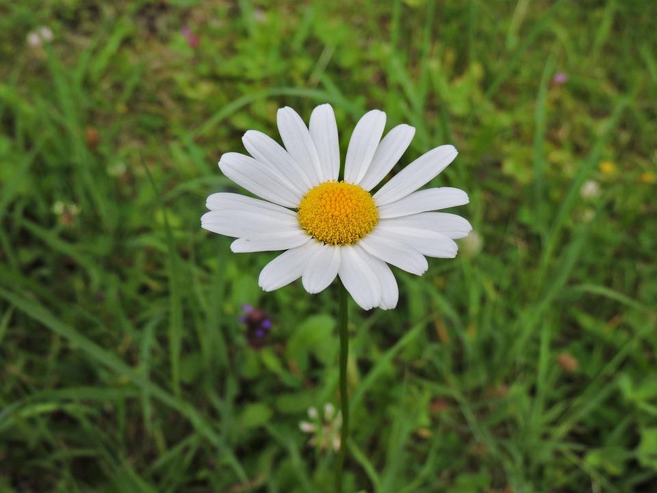Marguerite, White, Meadow, Nature, Plant, Public Record