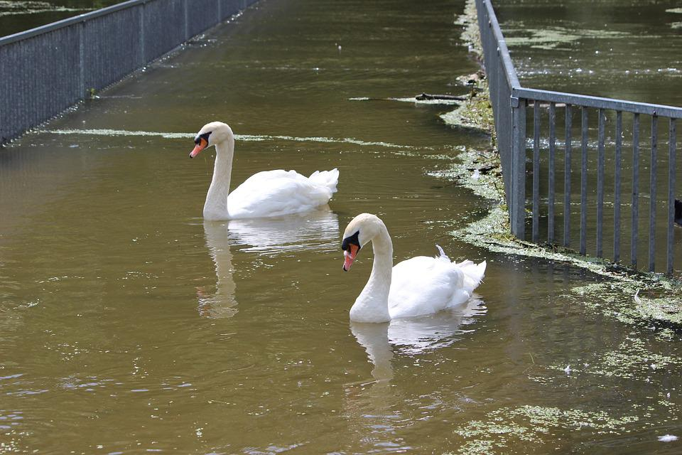 Waters, Swan, Lake, Puddle, Nature, White, Poultry