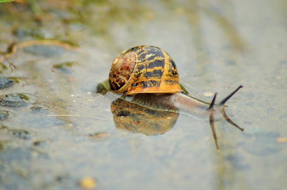 Snail, Insect, Nature, Rain, Shell, Puddle, Water, Fall
