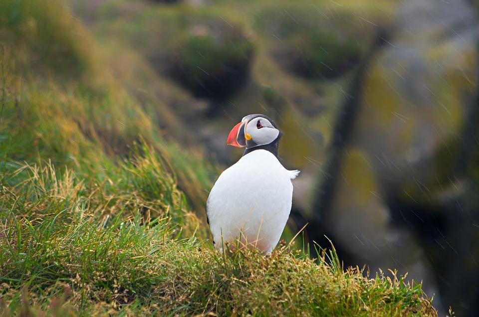 Puffin, Iceland, Bird, Rock, Rain