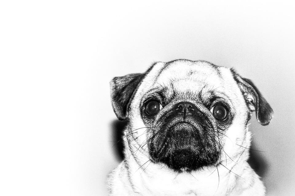 Wonderful Pug Black Adorable Dog - Pug-Adorable-Puppy-Animal-Dog-Cute-Funny-Pet-2548146  Photograph_361652  .jpg