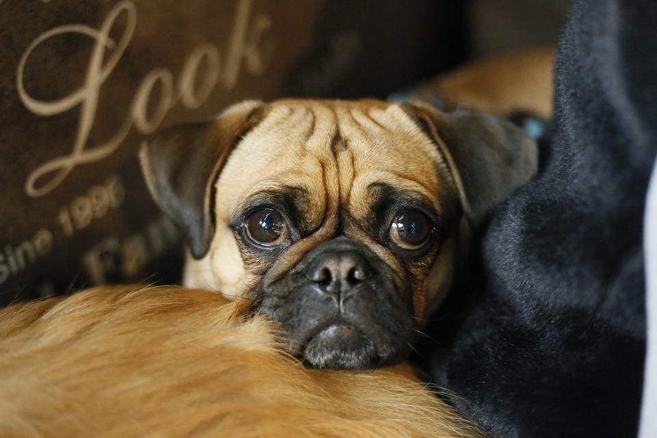 Fantastic Pug Canine Adorable Dog - Pug-Animal-Puppy-Cute-Dog-Portrait-Pets-Canine-3101965  Gallery_16519  .jpg