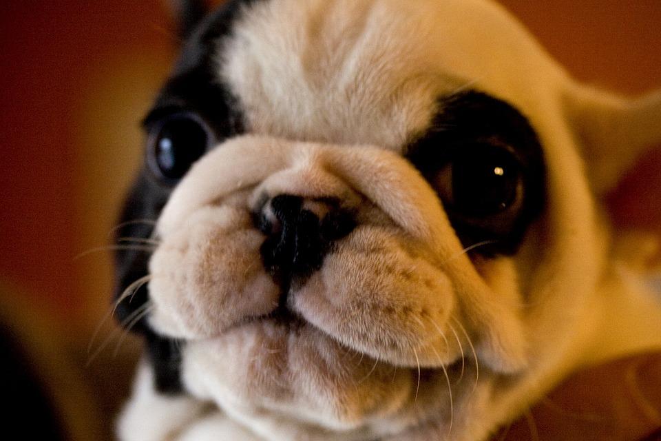 Pug, Dog, Purebred, Friend, Black And White, Happy