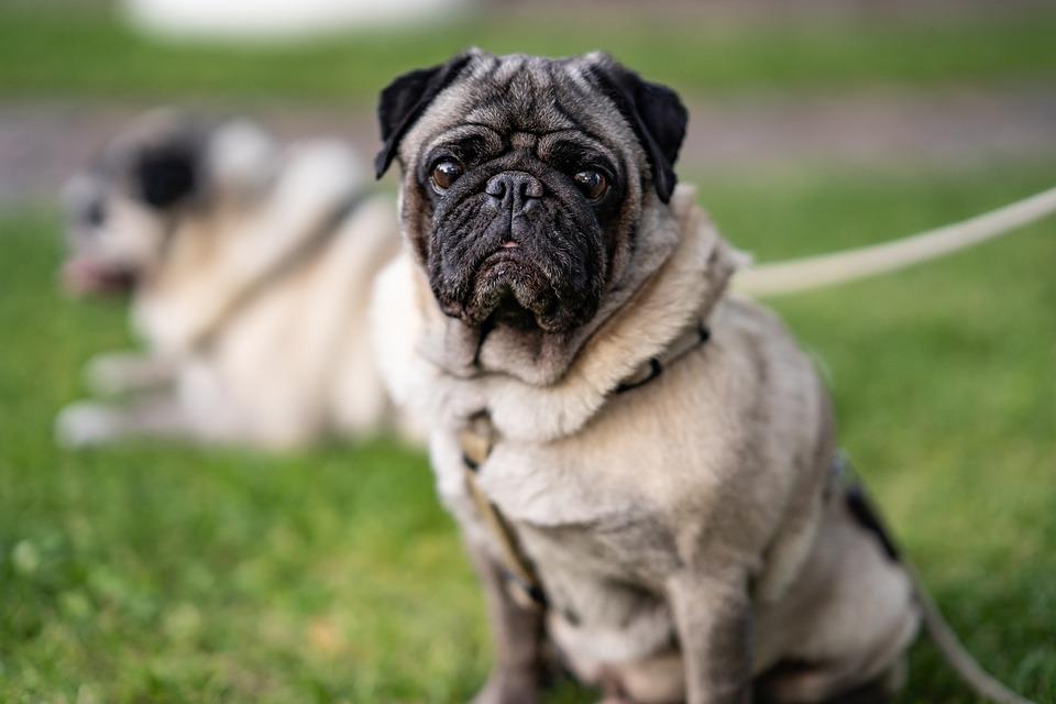 Pug, Dog, Cute, Portrait, Pet, Grass, Animal, Puppy