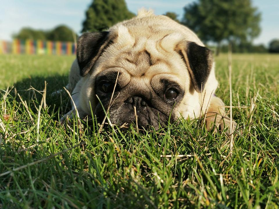 Pug, Pugs, Dog, Cute, Portrait, Laying, Love, Pet