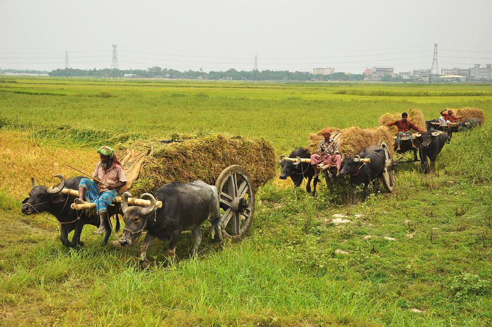 Farm, Water Buffaloes, Transport, Harvest, Pulling Cart