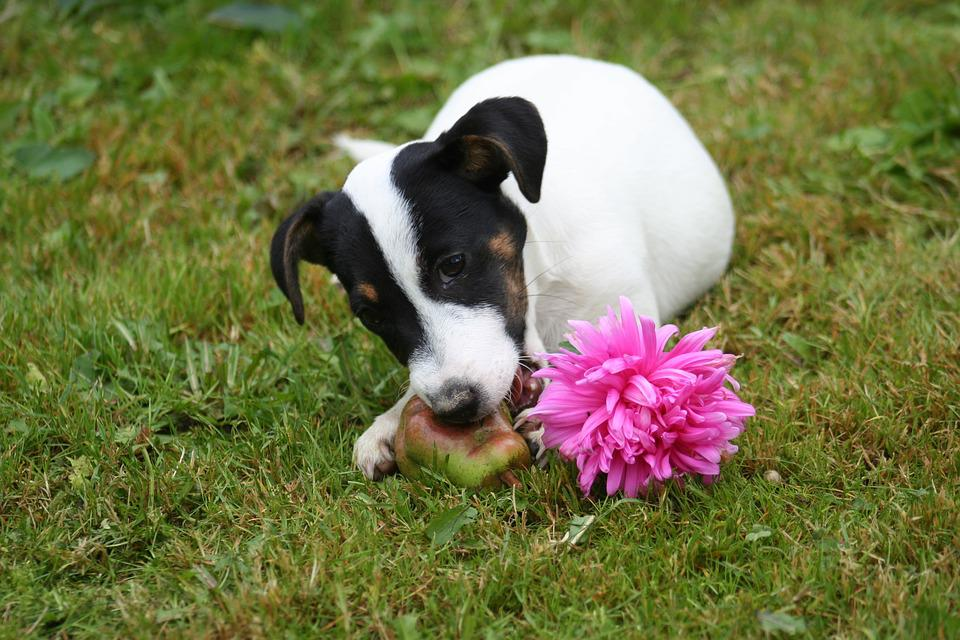 Small, Havko, Terrier, Pulp, Dog, Pet, Grass, Outdoors