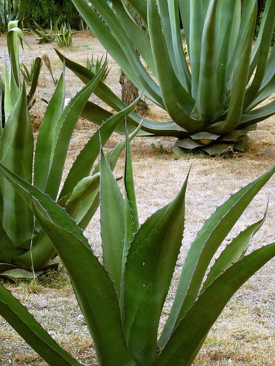 Maguey, Century Plant, Pita, Fibre, Mezcal, Pulque
