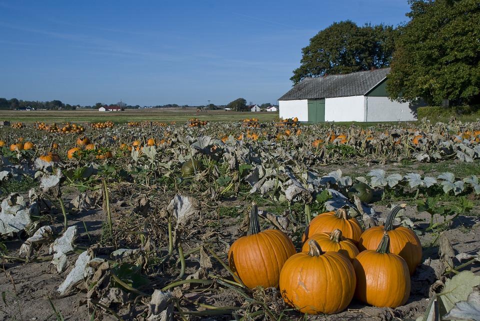 Pumpkin, Pumpkin Cultivation, Pumpkins, Skåne, Sweden