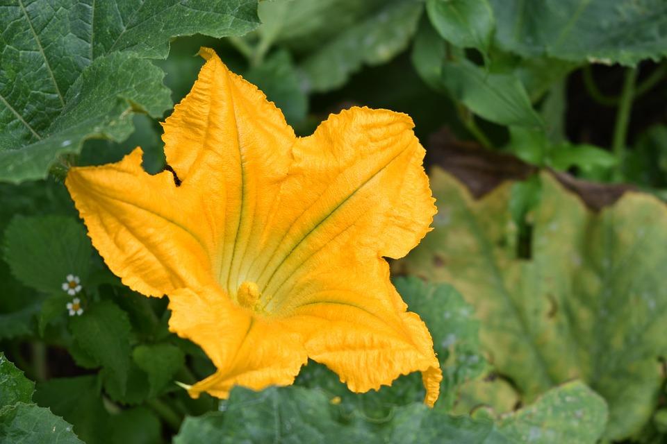 Flower, Pumpkin, Yellow, Nature, Garden, Season