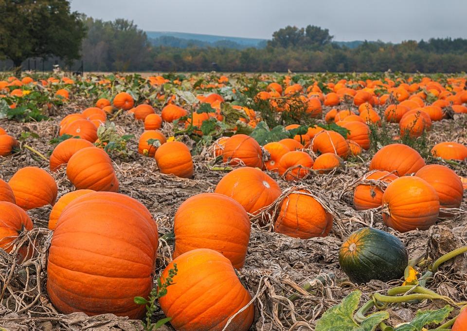 Pumpkin, Field, Agriculture, Autumn, Nature, Harvest
