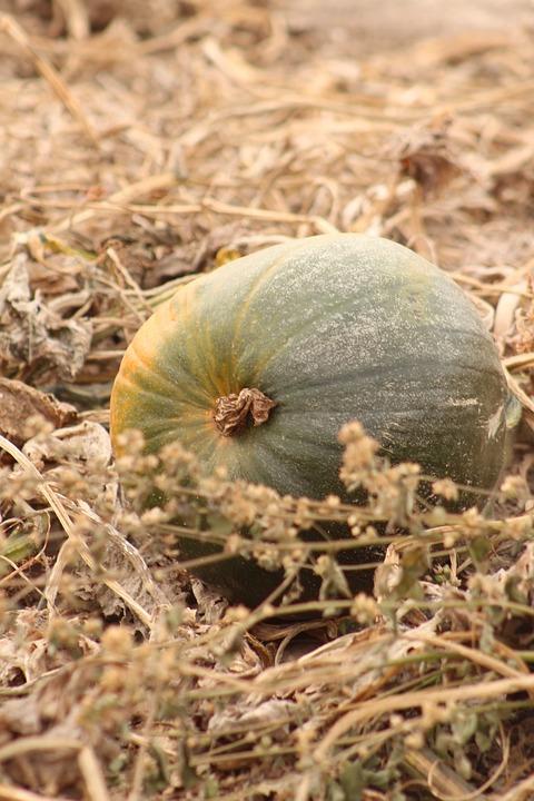 Pumpkins, Fall, Harvest