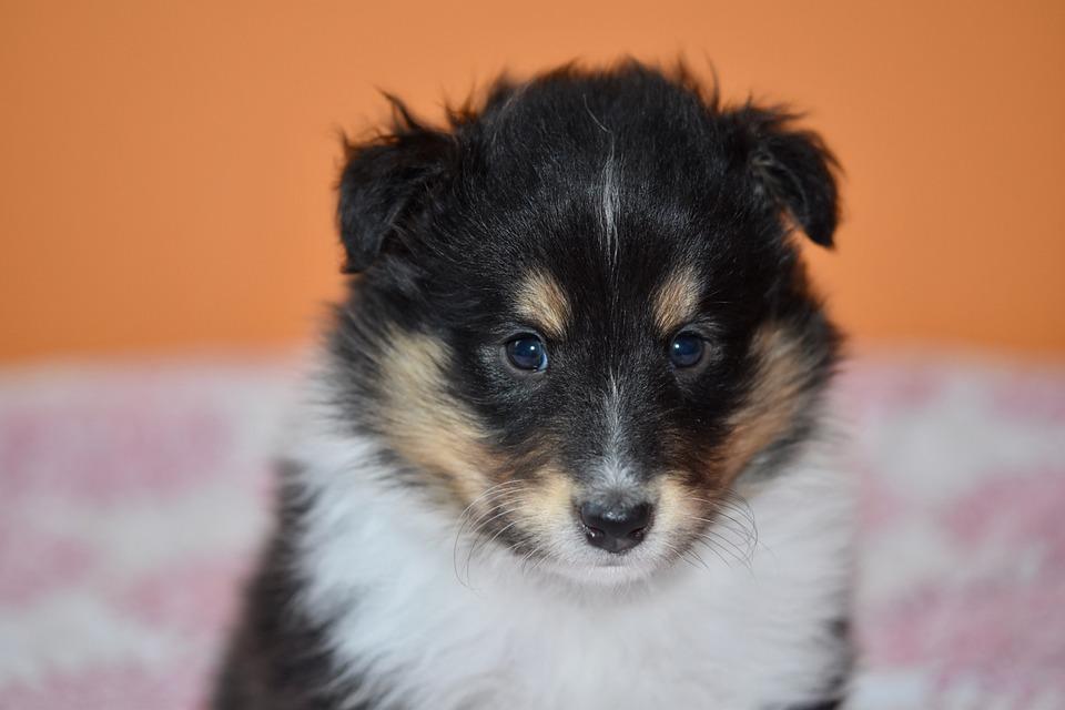 Puppy, Puppy Shetland Sheepdog, Animal, Dog, Pup