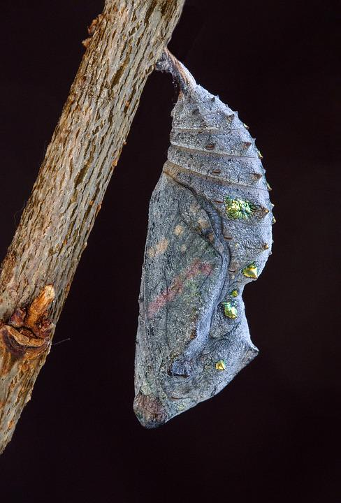 Red Admiral, Pupa, Cocoon, Butterfly, Chrysalis, Insect