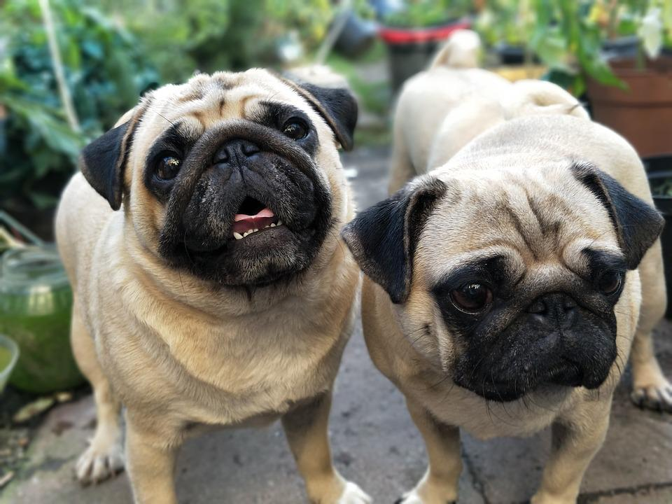 Top Pug Canine Adorable Dog - Puppies-Pugs-Dogs-Waiting-Pug-Cute-Puppy-Garden-2498922  Picture_757325  .jpg